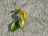 Elm Leaf Impressions