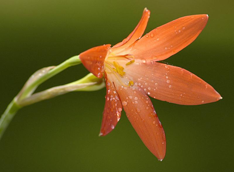 Cyrtanthus eucallus, Amaryllidaceae