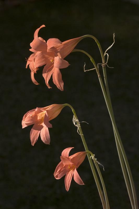 Cyrtanthus galpinii, Amaryllidaceae