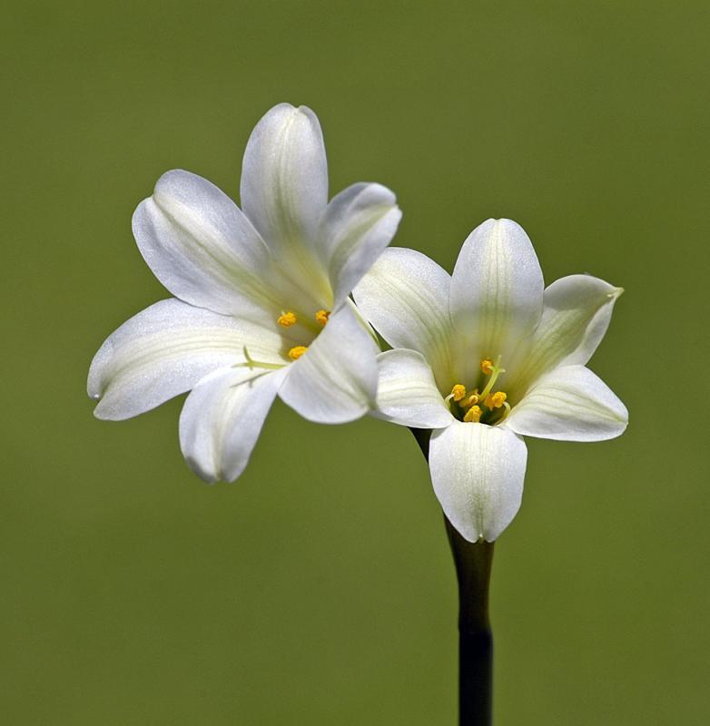 Cyrtanthus loddigesianus, Amaryllidaceae