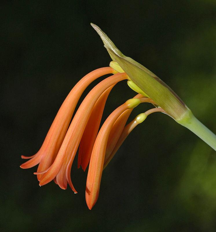 Cyrtanthus macowani, Amaryllidaceae
