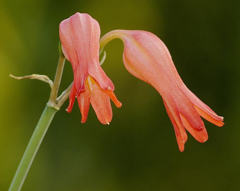 Cyrtanthus staadensis, Amaryllidaceae