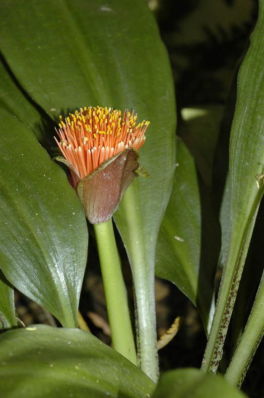 Scadoxus membranaceus, Amaryllidaceae