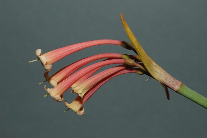 Cyrtanthus mackenni var cooperi (Stutterheim), Amaryllidaceae