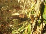 0567-Our Machetes Stashed in the Corn Sheath.jpg