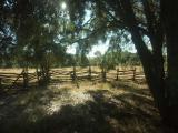 0688-Oak Trees in an Old Corral.jpg
