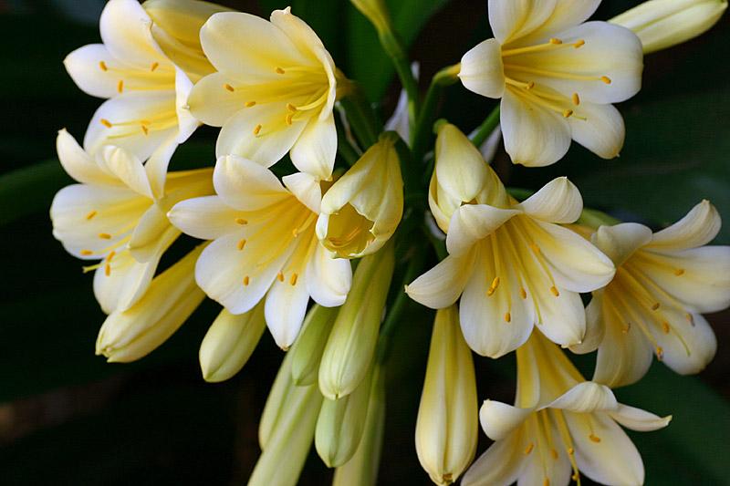 Oct 15. Creamy yellow Clivia