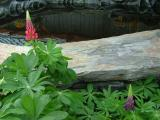 Lupine by the Nursery Pond