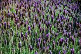 Lavender garden at La Vispera in Samaipata