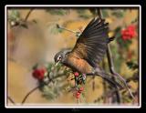 Robin flying.jpg
