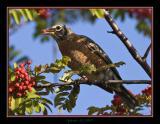 robin eating 2.jpg
