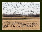 snow geese in fields.jpg