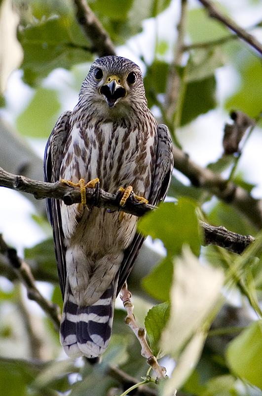 Merlin falcon.jpg