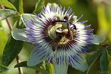 Passion Flower (08-25-05)