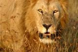 Masai Mara - King of the jungle