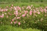 Hibiscus moscheutos (palustris)