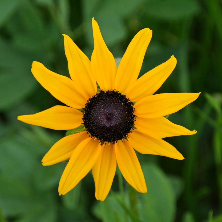 z Yellow flower in MP RMNP.jpg