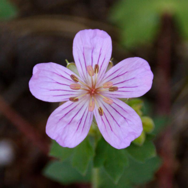 z Mauve flower in MP RMNP.jpg