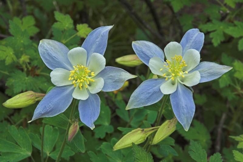 z Two Flowers - Columbine near Mills Lake.jpg