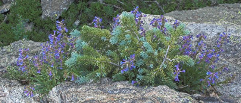 z Blue spruce blossoms near Dream Lake.jpg