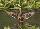 z duck wings in Cub Lake.jpg