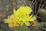 z Cactus flowers 7-4-5.jpg