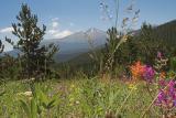z Ute Meadow flowers to Longs Peak.jpg
