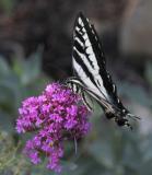 z IMG_0418 Butterfly flower.jpg