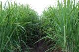 Young Sugar Cane Close-up