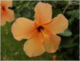 Hibiscus Veins