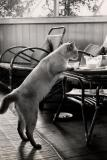 1964 Sarawak - Cat in a government rest house