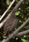 708_32_Spruse-Grouse.jpg