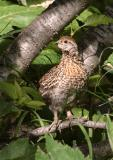 708_33_Baby-Spruse-Grouse.JPG