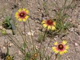 Wildflowers - Indian Blanket