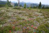 A few Flowers (Hart's Pass)