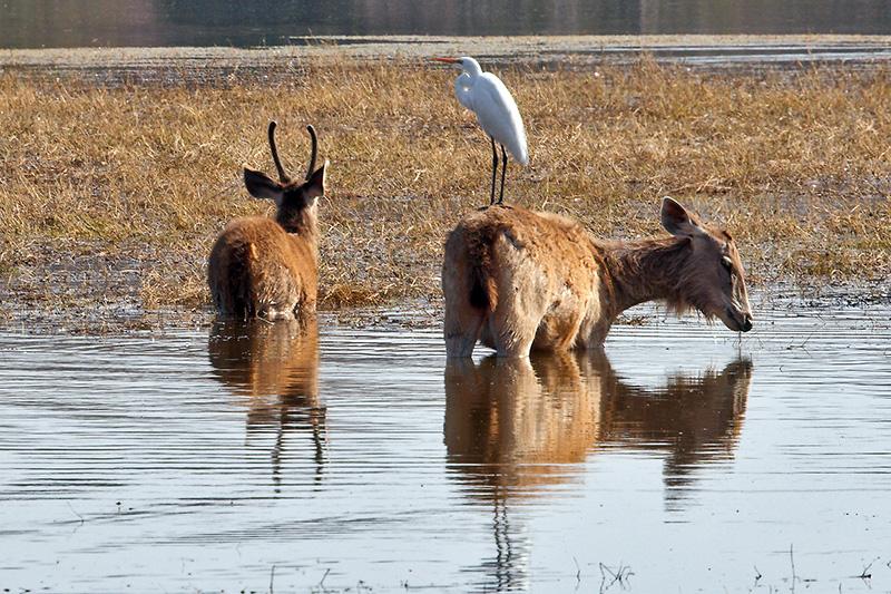 Sambar Deer & Egret