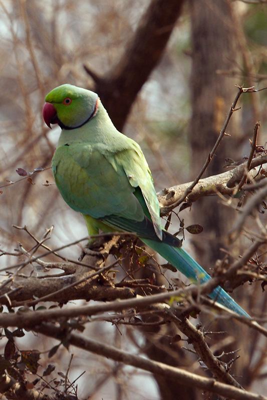Roseringed Parakeet