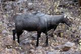 Male Blue Bull (Nilgai)