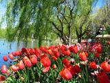 Floriade - Tulips