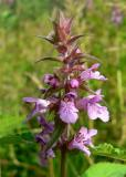 Bosandoorn - Stachys sylvatica