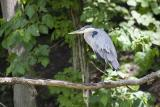 Heron on Branch.jpg