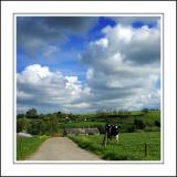 Farm and cow near Crewkerne, Somerset