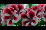 Pelargoniums, Crathes Castle, Banchory (2554)