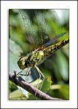Dragonfly, own garden, Martock, Somerset