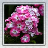 Hydrangea, Mount Stewart, Newtownards, County Down, N. Ireland