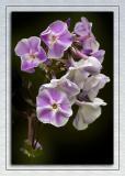 Violet and white flowers, Mount Stewart, Newtownards, County Down, N. Ireland