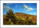 Fir trees in the sun, between Tomintoul and Grantown, Morayshire, Scotland