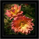 Dahlias, botanic garden, Lacock Abbey, Lacock, Wiltshire