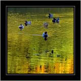 Mallards in a sea of green and gold ~ Stourhead