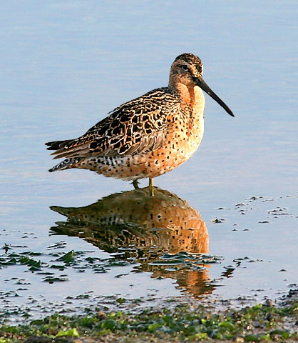 Short-billed Dowitcher, prealternate adult